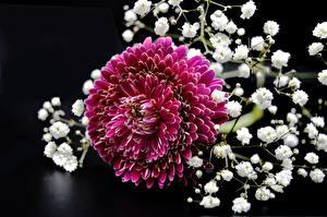 Bilder Chrysanthemen Hautnah Rot Blumen