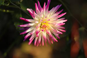 Photo Closeup Dahlias Blurred background Pink color flower