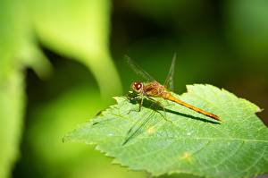 Pictures Closeup Odonata Insects Blurred background Leaf animal