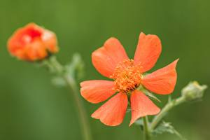 Image Closeup Blurred background Red Geum, avens flower