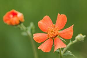 Fotos Großansicht Unscharfer Hintergrund Rot Geum, avens Blüte