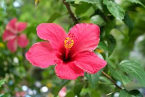 Bilder Großansicht Hibiskus Unscharfer Hintergrund Rosa Farbe Blumen