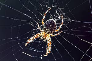 Bilder Großansicht Webspinnen Insekten Spinnennetz Spider-crossman ein Tier