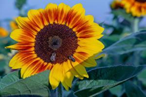 Hintergrundbilder Hautnah Sonnenblumen Insekten Bienen Blumen