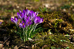 Picture Crocuses Spring Blurred background Flowers