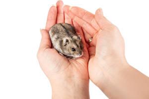 Fotos Hamster Weißer hintergrund Hand ein Tier