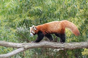 Pictures Giant panda Branches Side Red Panda animal