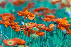 Fotos Mohn Knospe Unscharfer Hintergrund Blüte