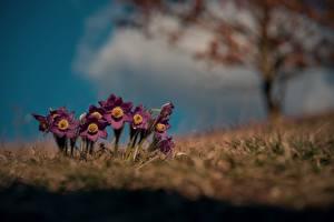 Fotos Kuhschellen Frühling Gras Unscharfer Hintergrund Blüte