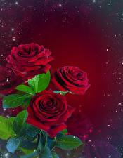 Hintergrundbilder Rosen Sträuße Blattwerk Vorlage Grußkarte Roter Hintergrund Blumen
