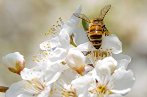 Pictures Spring Bees Insects Blurred background Animals