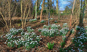 Photo Spring Snowdrops Flowers