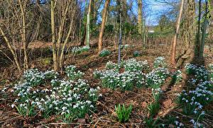 Hintergrundbilder Frühling Schneeglöckchen Blumen