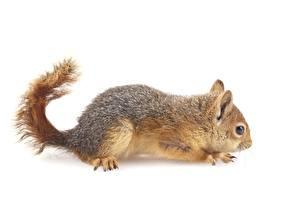Bilder Hörnchen Weißer hintergrund Seitlich Schwanz