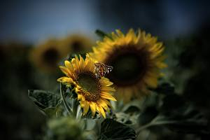 Pictures Sunflowers Butterflies Blurred background Yellow