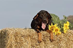 Fotos Sonnenblumen Hunde Do Khyi Stroh Liegt Zunge ein Tier