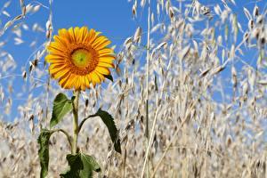 Bilder Sonnenblumen Ähre Blüte