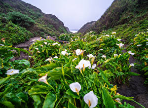 Bilder USA Calla palustris Küste Kalifornien Big Sur Natur Blumen