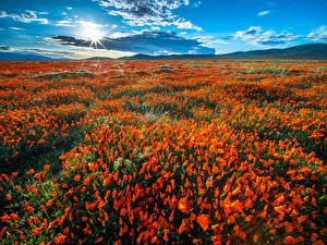 Picture USA Fields Poppies California Sun Clouds Nature Flowers
