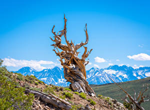 Wallpapers USA Mountain California Trees Bristlecone Pine Forest Nature