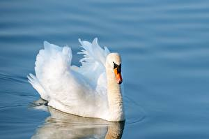 Wallpapers Water Birds Swan White Swims Animals