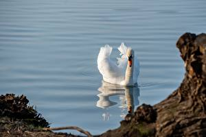 壁紙,水,天鹅,鸟,游泳,白色,動物,