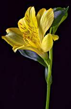 Wallpaper Alstroemeria Closeup Black background Yellow Flowers