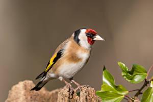 Hintergrundbilder Vögel Nahaufnahme goldfinch Tiere