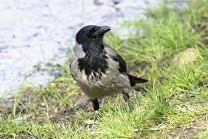 Hintergrundbilder Vögel Krähe Gras Bokeh Tiere