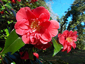 Hintergrundbilder Kamelien Nahaufnahme Rosa Farbe Blumen