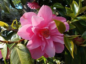 Bilder Kamelien Hautnah Rosa Farbe Blüte
