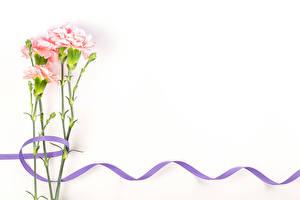 Fondos de escritorio Dianthus Tarjeta de felicitación de la plant El fondo blanco Cinta flor