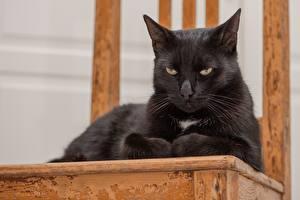 Fonds d'écran Chat domestique Noir Couchée Voir Animaux