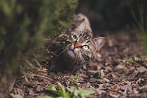 Image Cat Bokeh Staring Whiskers animal