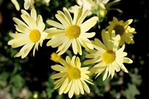 桌面壁纸,,特寫,母菊属,散景,黄色,花卉