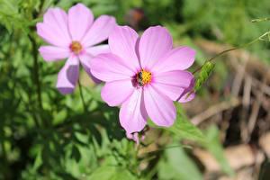 Fotos Großansicht Kosmeen Unscharfer Hintergrund Rosa Farbe Blumen