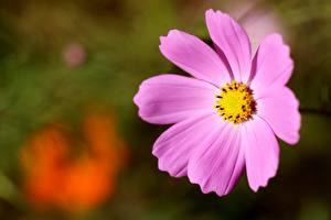 Desktop hintergrundbilder Nahaufnahme Kosmeen Unscharfer Hintergrund Rosa Farbe Blüte