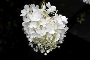 桌面壁纸,,特寫,繡球,散景,白色,花卉