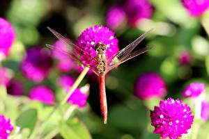 Hintergrundbilder Hautnah Insekten Libellen Unscharfer Hintergrund Tiere