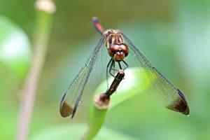 Bilder Großansicht Insekten Libellen Unscharfer Hintergrund Flügel Tiere
