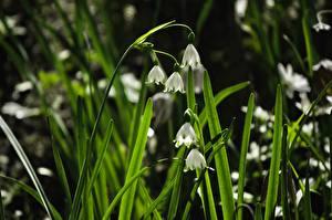 Bilder Hautnah Gras Weiß Leucojum Snowflake Blumen