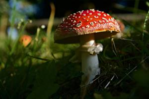 Images Closeup Mushrooms nature Amanita Red Nature
