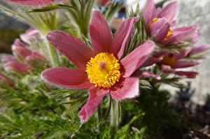 Bilder Hautnah Kuhschellen Bokeh Rosa Farbe Blüte