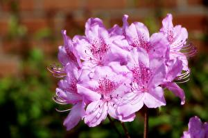 Bilder Hautnah Rhododendren Bokeh Rosa Farbe Azalea Blumen