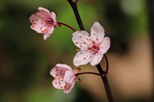 Fotos Großansicht Japanische Kirschblüte Unscharfer Hintergrund Rosa Farbe Blumen