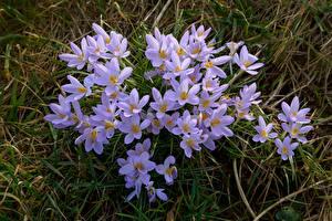 Fotos Krokusse Viel Großansicht Blüte