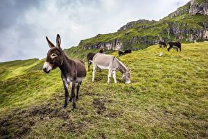 Tapety na pulpit Osioł Góry Trawa Zwierzęta
