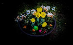 Wallpaper Easter Tulips Narcissus Black background Eggs Flowers