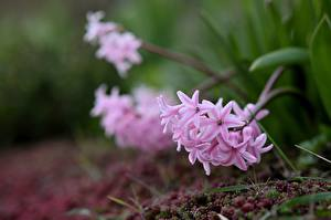Fotos Hyazinthen Rosa Farbe Bokeh Blüte