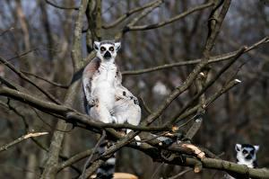 Hintergrundbilder Lemuren Bokeh Ast Starren Tiere